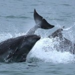 Dolphins in Cardigan Bay, New Quay